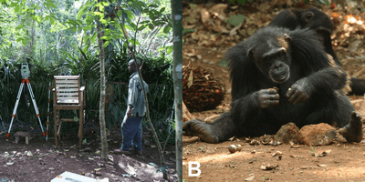 A) View of the experimental area in the Forest of Bossou, Guinea. Researchers record the nut-cracking behavior every year, using several video cameras while staying behind a screen of vegetation, c. 20m distance from the wild chimpanzees using tools. B) Female using a stone hammer and anvil to crack open nuts. Note the assortment of stones on the right side which is provided by the researchers, along with the piles of nuts. From enito-Calvo A, Carvalho S, Arroyo A, Matsuzawa T, de la Torre I (2015).