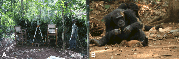 chimpanzee behavior Our list of chimp facts contains information about chimpanzee social behavior  and natural habitat, along with facts about chimpanzee protection efforts find out .