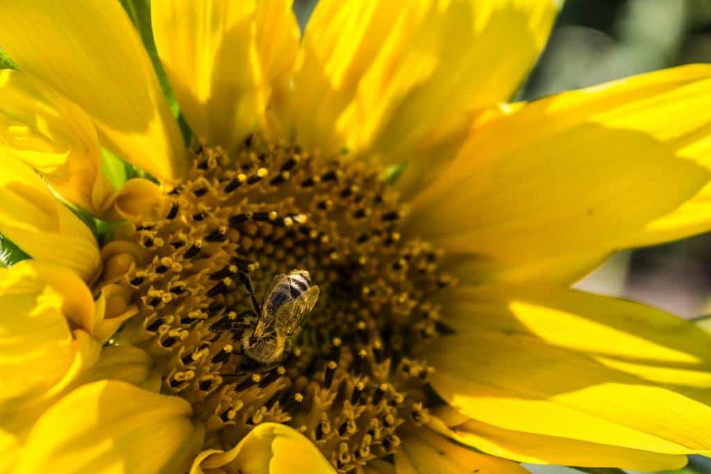 Honey bees play a major role in pollinating the world's plants. Photo: Sarah Scott, USGS. Public domain.