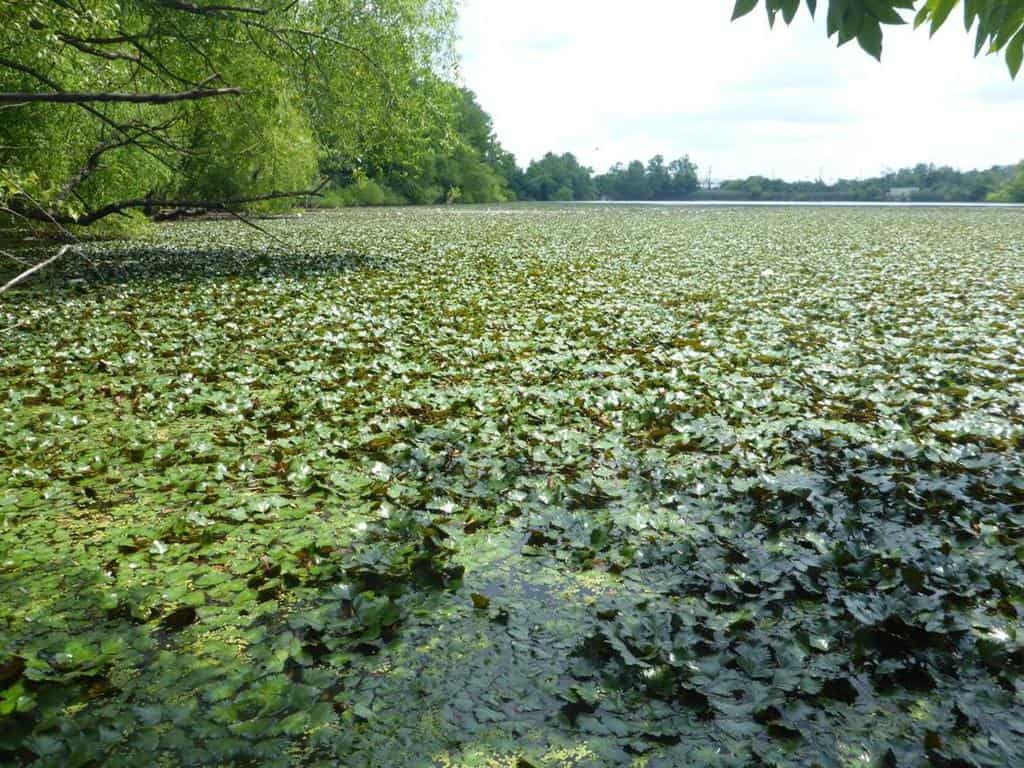 An invasive species of water chestnut covers the surface of a lake in Fairfax County, VA.  Photo: Nancy Rybicki, Hydro-Eco Interactions Branch. Public domain. USGS