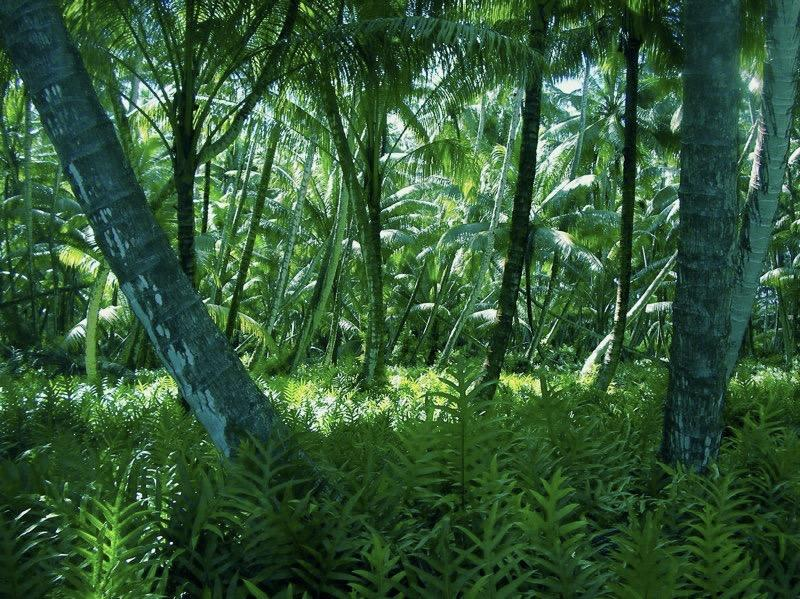 A view of the forest on Palmyra Atoll, a tropical reef island in the Pacific. Photo: Kevin Lafferty, USGS Western Ecological Research Center. Public domain.