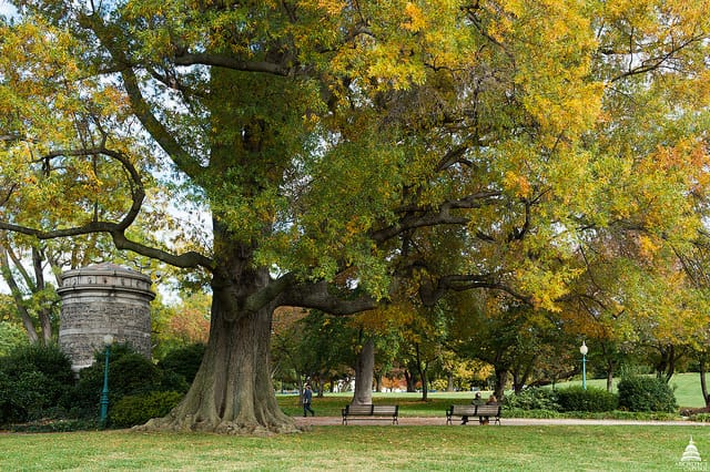 Urban trees provide many benefits such as  absorbing heat, filtering pollution, and absorbing carbon dioxide from the air.  Photo: Willow Oak in City Park, USGS, public domain.
